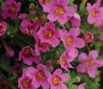 Bacopa Pinktopia 100 multi pelet