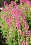 Salvia horminum Rose streaker 250 seeds