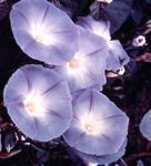 Ipomoea tricolor Sky Blue  5g