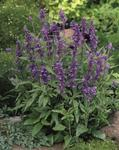 Salvia farinacea Evolution Violet 1000s