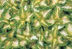 Coleus blumei Wizard Jade 500 seeds