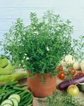 Satureja hortensis - Summer Savoury 5g