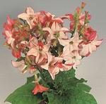 Nicotiana a. Avalon Appleblossom F1 500 seeds