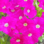 Petunia mill. Picobella Rose F1 250 pellets