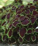Coleus b. Sun Chocolate Mint 100 pelet