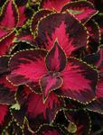 Coleus b. Sun Chocolate Covered Cherry 100 pelet