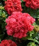 Petunia h. Valentine F1 250 seeds