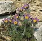Pulsatilla vulgaris Violet Bells 1g
