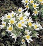 Pulsatilla vulgaris White Bells 1g