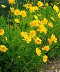 Coreopsis grandiflora Sunary 1g