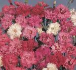 Dianthus plumarius Spring Beauty 1g