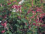 Dicentra spectabilis Rose Red 1g