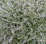Limonium tataricum 1g