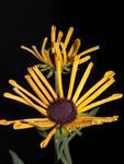 Rudbeckia subtomentosa 0,5g