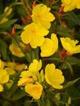 Oenothera tetragona Golden Yellow 0,25g