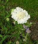 Scabiosa caucasica White 3g