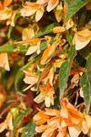 Begonia b. Copacabana Tricolour F1 250 pelet