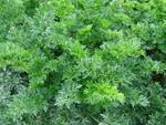Celer listový Pikant 5g
