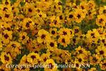 Coreopsis tinctoria Golden Roulette FSN 0,20g