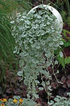 Dichondra argenta Silver Falls 100 semen