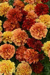 Tagetes patula Strawberry Blonde 200 semen