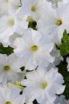 Petunia h. Lo Rider White F1 250 pellets