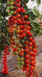 Pole tomato Charmant F1 5g