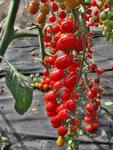 Pole tomato Mandat F1 100 seeds