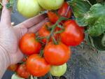 Pole tomato Palava  F1 5g