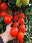Pole tomato Sonet  F1 5g