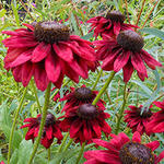 Rudbeckia hirta Cherry Brandy 500 seeds