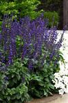 Salvia Interspecific Big Blue 100 seeds