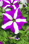 Petunia h. Express Purple Star 500 pellets