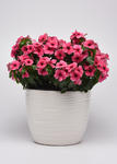 Catharanthus r. Tattoo Tangerine 250 seeds