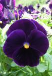 Viola x w. Bergwacht 1g