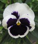 Viola x w. Silberbraut 1g