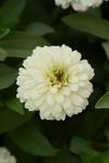 Zinnia m. Zahara Double White 100 seeds