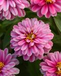Zinnia m. Zahara Double Raspberry Ripple 100s