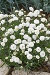 Achillea ptarmica Pearl Reselected 0,25g