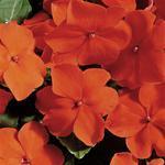Impatiens w. Accent Orange F1 250 seeds