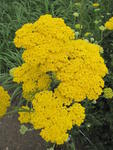 Achillea filipendulina Cloth of Gold 0,25g