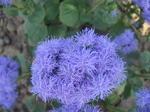 Ageratum houstonianum Blue (Capri) 1g