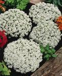 Lobularia m.Snow Crystal 1g
