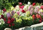 Antirrhinum m.Snapshot Mix F1 500 seeds
