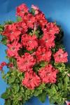Petunia h. Aphrodite lososová F1 50 pelet