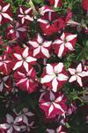 Petunia pendula Avalanche Purple Red Star F1 50 s