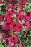 Petunia pendula Avalanche Purple Red F1 50 seeds