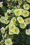 Petunia pendula Lavina žlutá hvězda F1 300s