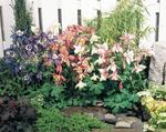 Aquilegia caerulea Spring Magic Mix 0,5g