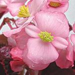 Begonia semp. Akord sv. růžová F1 1/16g